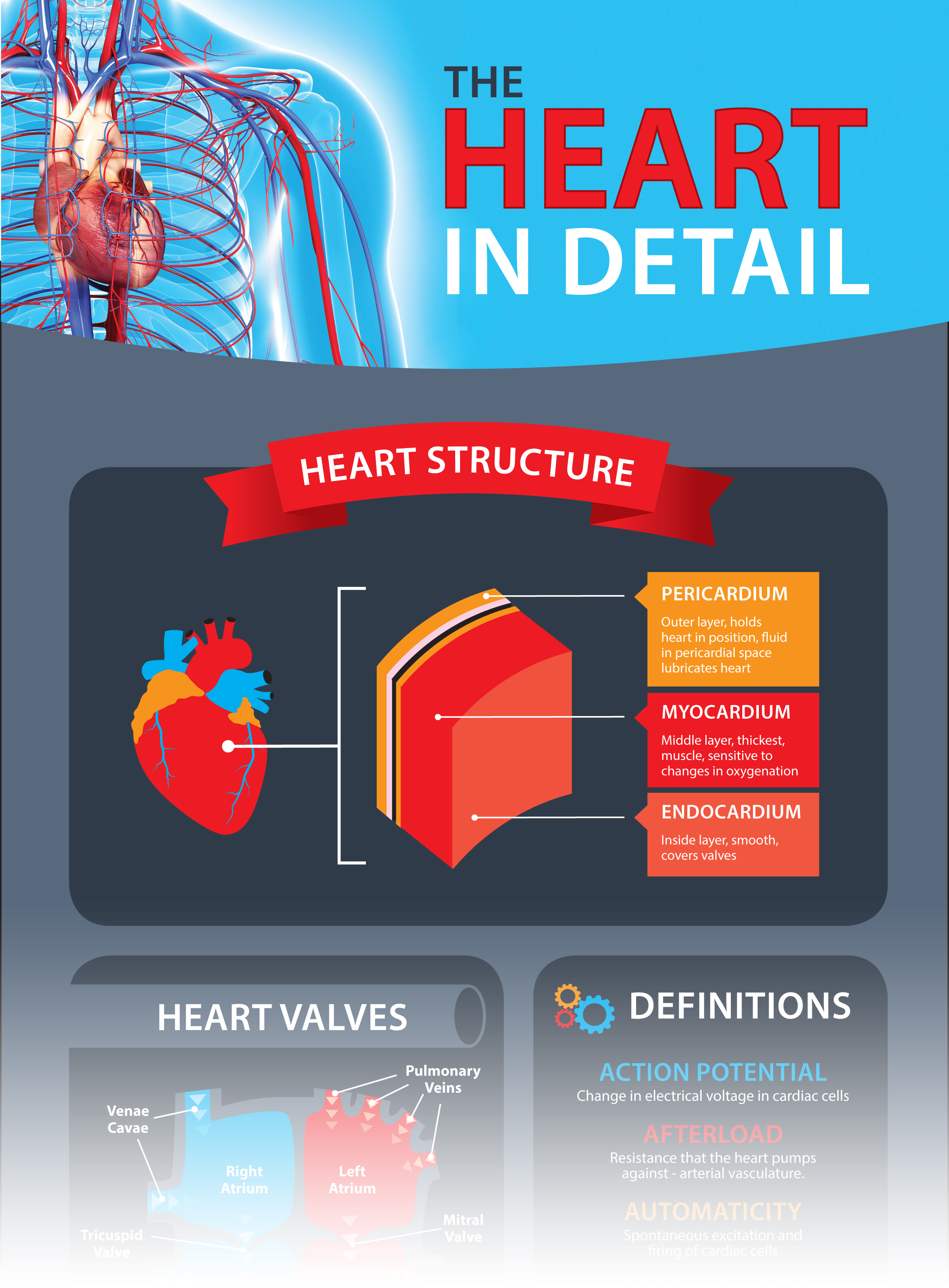 The Heart in Detail Infographic